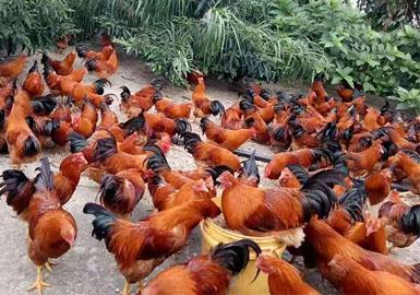 盘瑶灵芝鸡